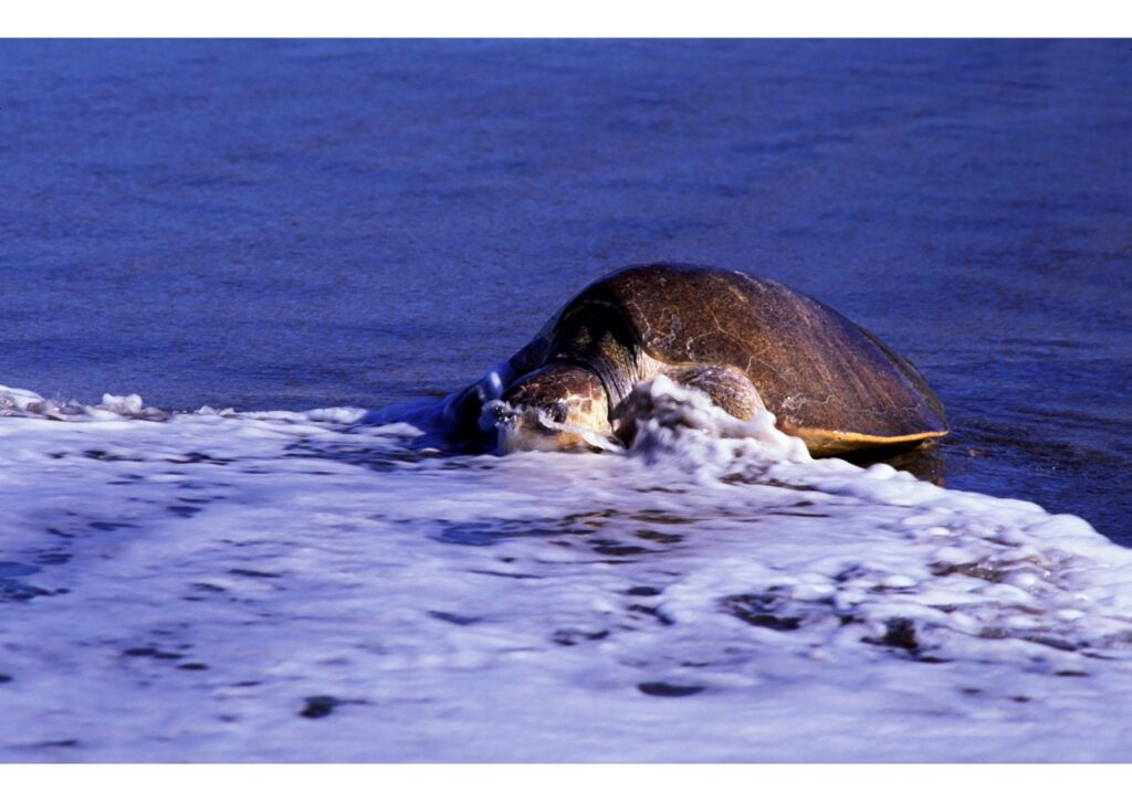Sea Turtle coming ashore to lay her eggs