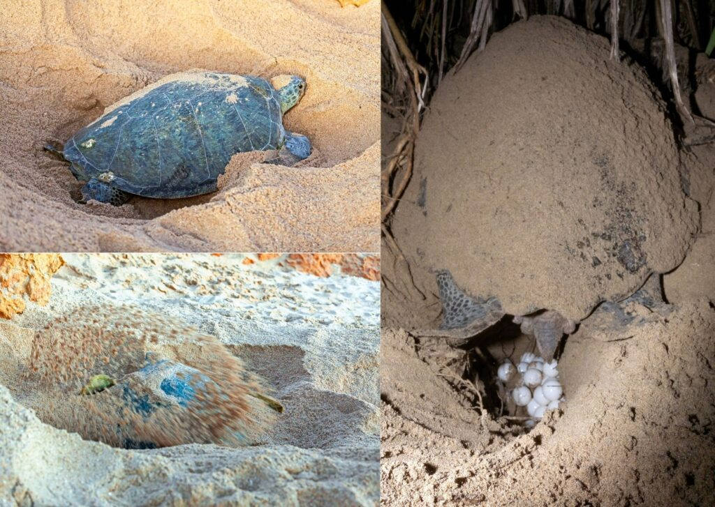 Sea Turtle chooses her nest site and digs a pit in which to lay her eggs